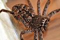 Macro image of huntsman spider from side.jpg
