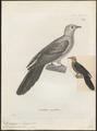 Macropygia modesta - 1700-1880 - Print - Iconographia Zoologica - Special Collections University of Amsterdam - UBA01 IZ15600381.tif