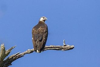 Sea eagle - Image: Madagascan Fish Eagle Ankarafantsika Madagascar (15111026410) (2)