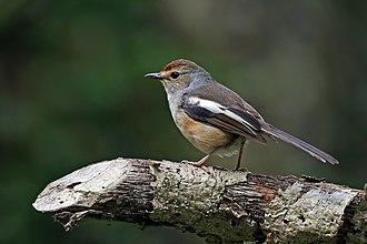 Old World flycatcher - Madagascar magpie-robin Copsychus albospecularis pica