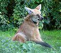 Maehnenwolf Chrysocyon brachyurus Tierpark Hellabrunn-13.jpg