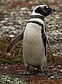Magellanic Penguin at Otway Sound, Chile (5520698593).jpg