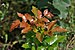 Mahonia aquifolium qtl1.jpg
