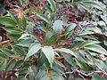 Mahonia gracilipes fruits - Flickr - peganum.jpg