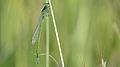 Male Common Bluetail fresh (17273821075).jpg