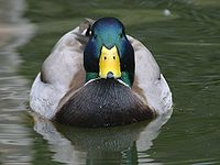 Mallard duck close-up.jpg