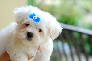 Pet - A Maltese puppy