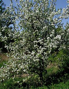 Malus-domestica-blomstring.JPG