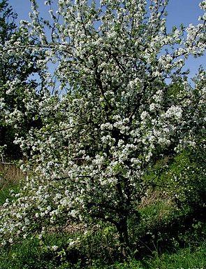 Kulturapfel (Malus domestica), blühender Baum