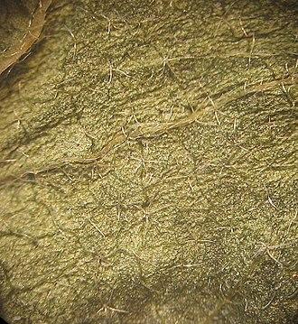 Malvaceae - Image: Malva alcea pili NRM