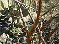 Mammillaria polyedra (5759374436).jpg