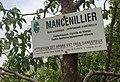 Mancelinier.jpg