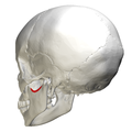 Mandibular notch - lateral view2.png