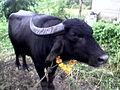 Mangal pandey Bull.jpg