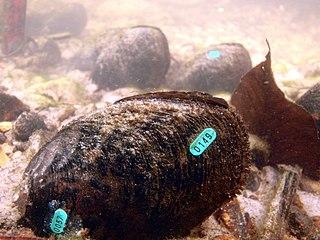 Louisiana pearlshell species of mollusc
