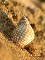 Marine Snail (16219581850).jpg