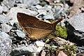 Marpesia marcella marcella (Nymphalidae- Cyrestinae- Cyrestini) (29102470644).jpg