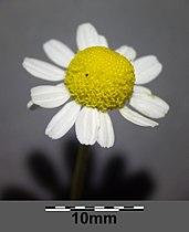 Matricaria chamomilla sl9.jpg