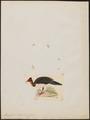 Megacephalon maleo - 1820-1860 - Print - Iconographia Zoologica - Special Collections University of Amsterdam - UBA01 IZ16900143.tif
