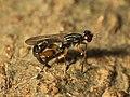 Megamerinidae Wynaad1.jpg