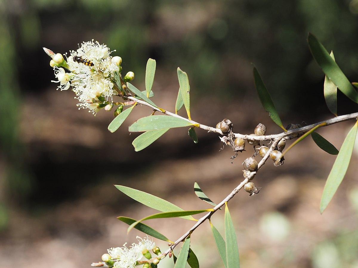 Melaleuca groveana - Wikipedia