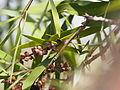 Melaleuca stenostachya 02.JPG