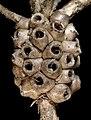Melaleuca trichophylla - Flickr - Kevin Thiele.jpg