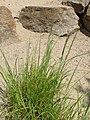 Melica altissima kz02.jpg
