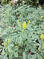 Melilotus indicus leaf (07).jpeg