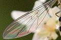 Meliscaeva.auricollis9.-.lindsey.jpg