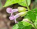 Melittis melissophyllum in Aveyron (5).jpg