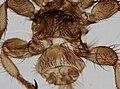 Melophagus ovinus (YPM IZ 093748).jpeg