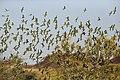 Melopsittacus undulatus flock 2.jpg