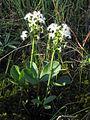 Menyanthes trifoliata Oulu, Finland 01.06.2013.jpg