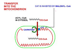 Fatty acid metabolism - A diagrammatic illustration of the transfer of an acyl-CoA molecule across the inner membrane of the mitochondrion by carnitine-acyl-CoA transferase (CAT). The illustrated acyl chain is, for diagrammatic purposes, only 12 carbon atoms long. Most fatty acids in human plasma are 16 or 18 carbon atoms long. CAT is inhibited by high concentrations of malonyl-CoA (the first committed step in fatty acid synthesis) in the cytoplasm. This means that fatty acid synthesis and fatty acid catabolism cannot occur simultaneously in any given cell.