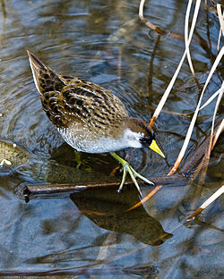 Mikebaird - Sora (Porzana carolina) bird waterbird in Morro Bay (by).jpg