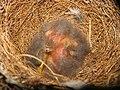 Mimus polyglottos two days old 01.jpg