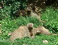 Mongoose family. - Flickr - gailhampshire.jpg