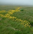 Monkey flowers in the mist - geograph.org.uk - 1296095.jpg
