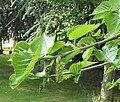 Morus nigra female flowers.jpg