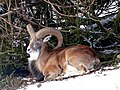 Mouflon at Highland Wildlife Park - geograph.org.uk - 1074751.jpg