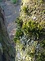 Mousse et lichen sur le tronc d'un cerisier sauvage à Grez-Doiceau 002.jpg