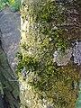 Mousse et lichen sur le tronc d'un cerisier sauvage à Grez-Doiceau 003.jpg