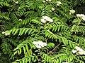 Murraya koenigii flowers at Peravoor (5).jpg