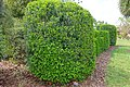Murraya paniculata - Mounts Botanical Garden - Palm Beach County, Florida - DSC03781.jpg
