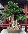 Murraya paniculata bonsai, JBM.jpg