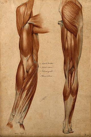 Muskler och senor i arm och ben.