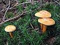 Mushroom-IMG 6463.JPG