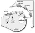 Muskarinrezeptoren an NA-Neuronen.png