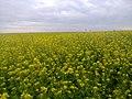 Mustárföld. - panoramio.jpg